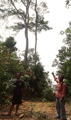 Image: Lone survivor: Two orang asli showing a petai tree that had been spared.