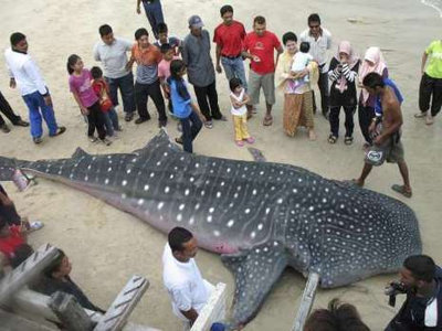 zeldzame walvishaai sterft voor maleisische kust