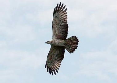 Image: Time to migrate: A Crested Honey Buzzard from Pulau Rupat, Sumatra riding the thermal draft above Tanjung Tuan.